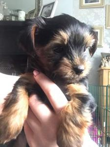 Online yorkie puppies for sale